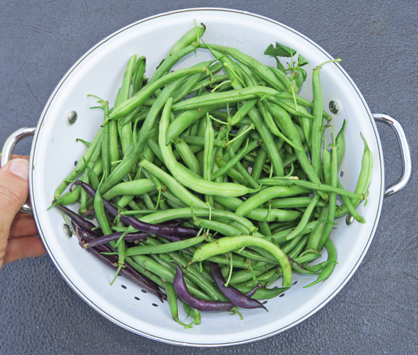 last of the bush beans