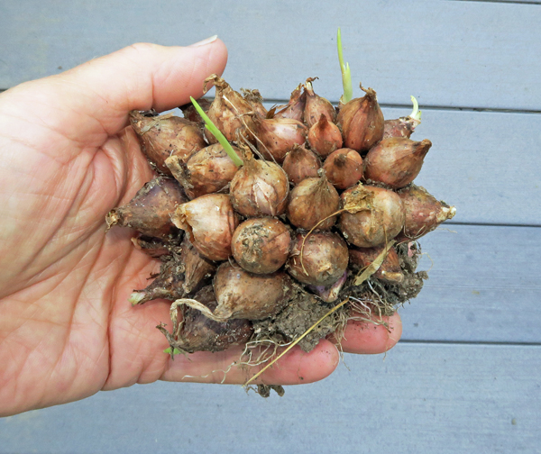 clump of I'itoi multiplier onions
