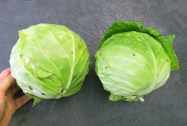 Primo Vantage cabbage