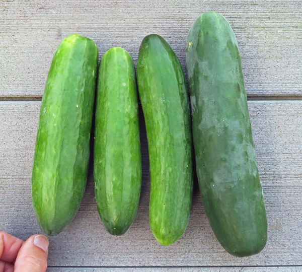 Socrates and Corinto cucumbers