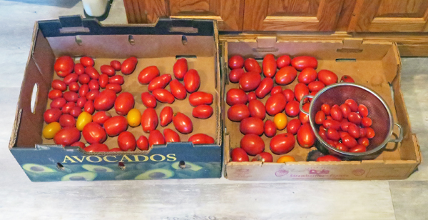 tomatoes for ketchup