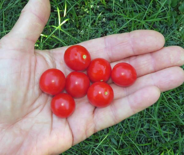 Jasper tomatoes