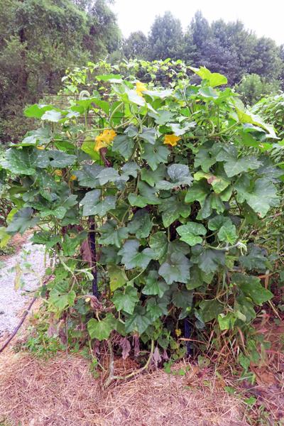 tromboncino vines on trellis
