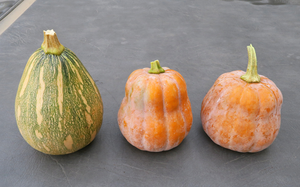 Fairy and Robin's Koginut winter squashes