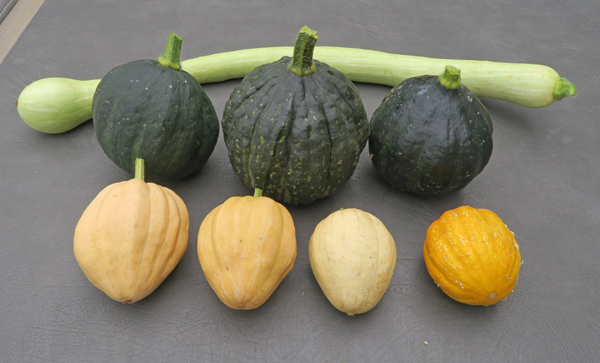 Tromboncino and winter squashes