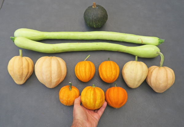 assortment of squashes