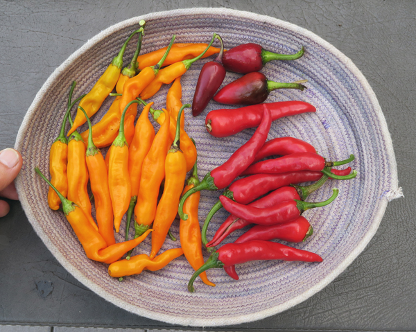 Aji Angelo, Czech Black and Korean Hot peppers