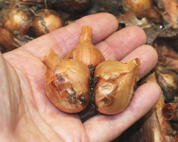 clump of Yellow Potato Onions