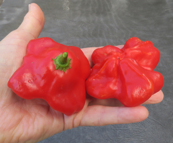 Mad Hatter peppers