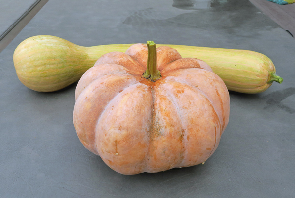 Rancho Marques and Turkeyneck squash