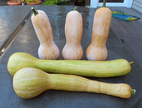Turkeyneck squashes