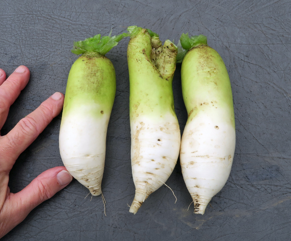 Alpine radishes