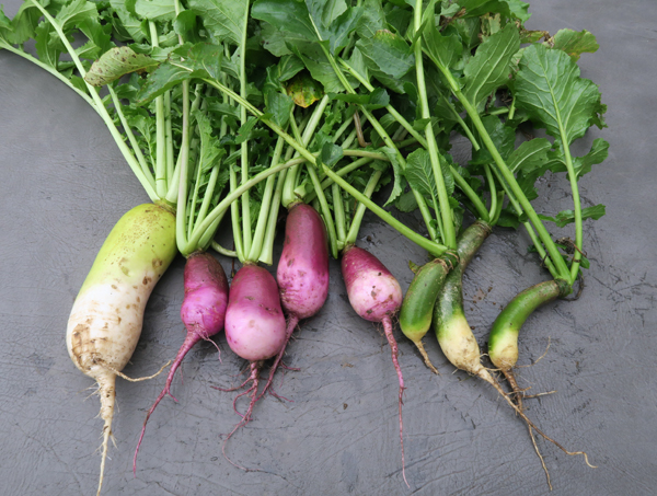 Alpine, KN Bravo and Green Luobo radishes