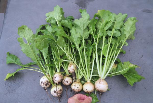 Oasis and Hakurei turnips