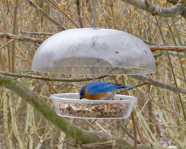male bluebird at the feeder