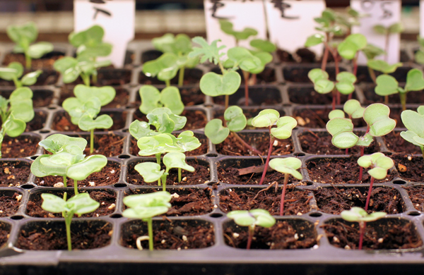 kale seedlings after thinning