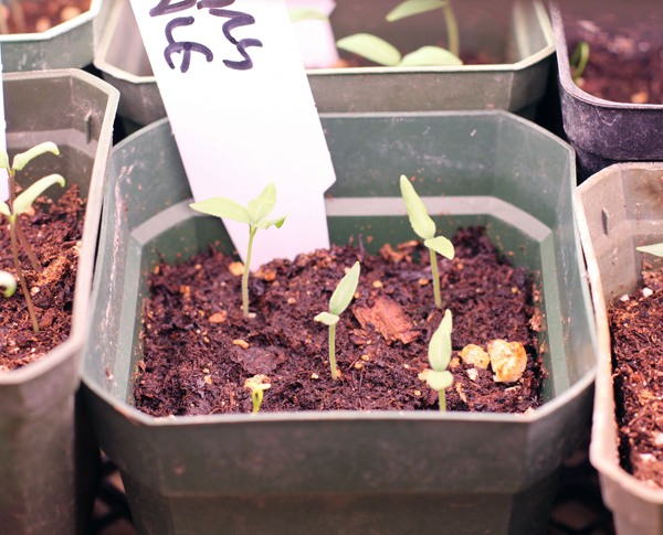 Fairy Tale eggplant seedlings