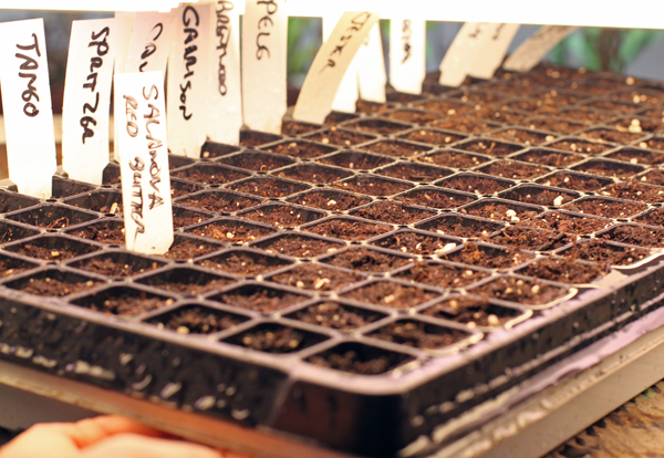 plug flat with lettuce seed