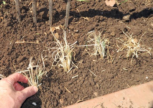 planting I'itoi onions
