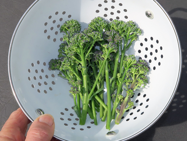 Santee broccoli