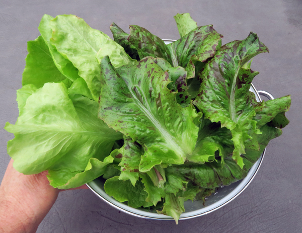 Mirlo and Pele lettuce