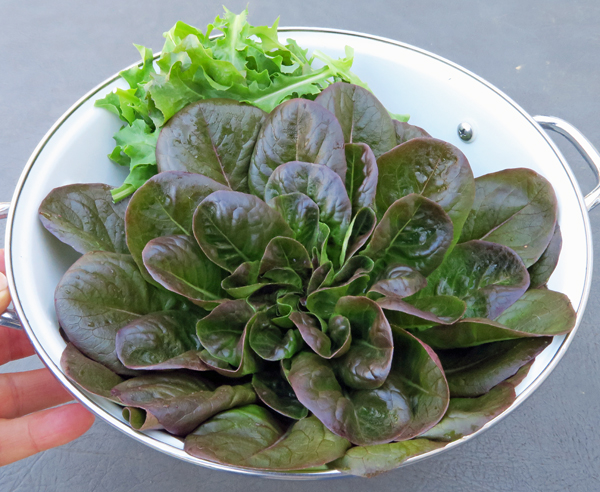 Salanova Red Butter lettuce