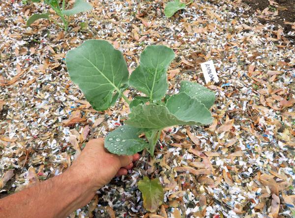 Aspabroc broccoli