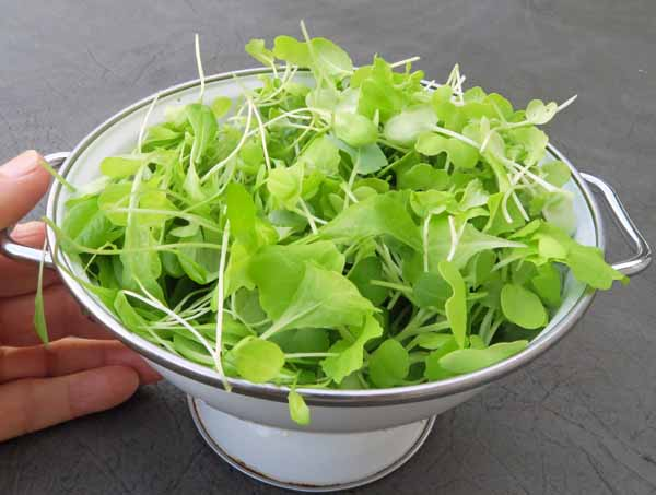 mixed microgreens with lettuce sprouts