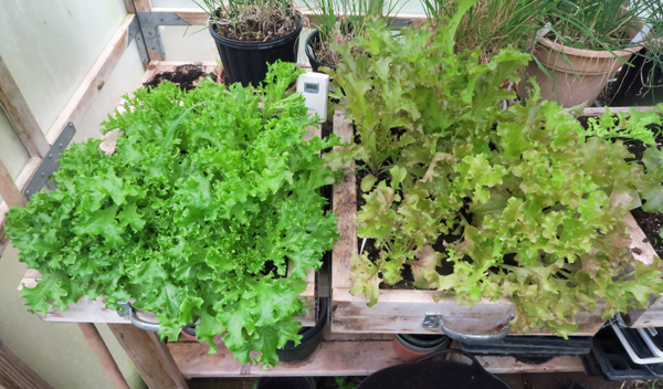 lettuce growing in salad boxes