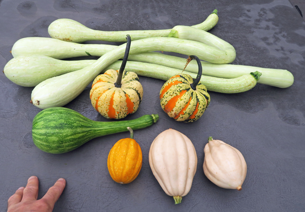 tromboncino, Festival, Centercut, Gill's Golden Pippin and Baked Potatoes squashes