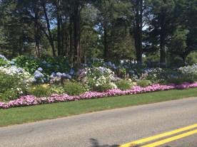 An abundant flower bed with lots of hydrangeas in Cape Cod