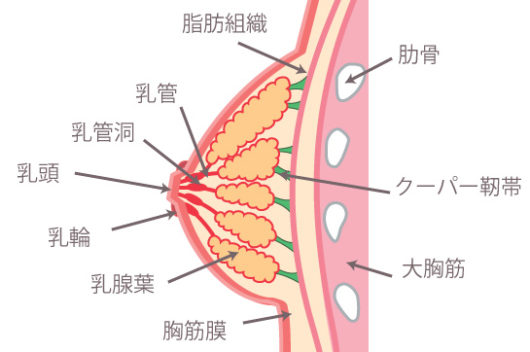 乳房の断面図 乳管 原三信病院