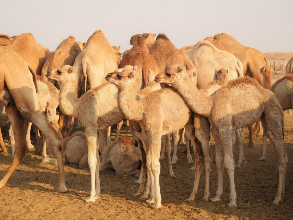 Baby camels!