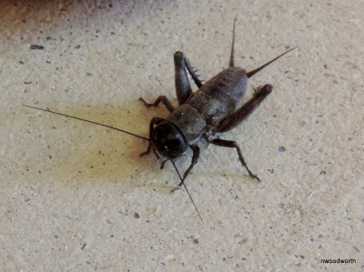 This fall field cricket is largely responsible for much of the chirping we hear during this time of the year. Females, like this one, have long oviposters (used in egg-laying) on their backsides.