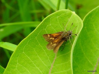 Some butterflies can look like moths! This butterfly is one of 230 species in the Northwoods belonging to the skipper family. Their small size, drab coloration, & unusual wing position make it easy to mistake them for a moth. Look for skippers in our grasslands and prairies.
