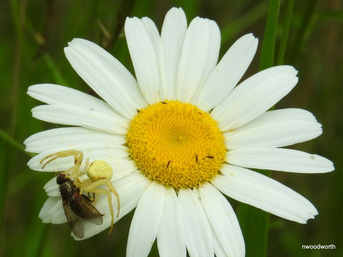 """Crab spiders are a """"wait & ambush"""" predator, relying on camoflauge as they silently wait for prey to pass. This goldenrod crab spider can often be found on goldenrods & daiseys, & are capable of changing color to match the flower."""