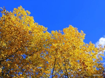 After the chlorophyll fades, the xanthophylls become visible resulting in a bright yellow color!