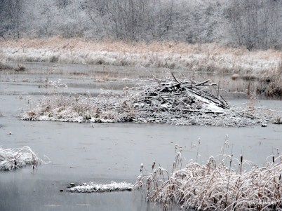 Beavers often break through thin layers of ice to get out of the water in early winter