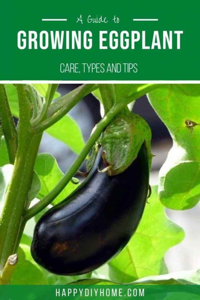 Growing Eggplant 2