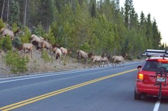 elk-herd-crossing-wayne-d-lewis-dsc_1446