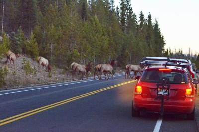 elk-herd-crossing-wayne-d-lewis-dsc_1448