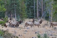 elk-herd-wayne-d-lewis-dsc_1454