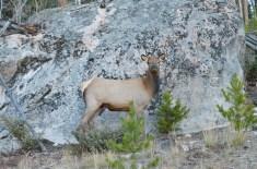 yearling-elk-wayne-d-lewis-dsc_1425