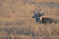 mule-deer-bucks-broken-jaw-wayne-d-lewis-dsc_0269