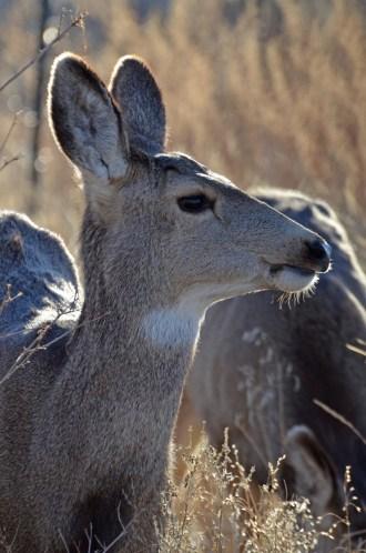 mule-deer-doe-wayne-d-lewis-dsc_0120