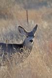 mule-deer-yearling-wayne-d-lewis-dsc_0116