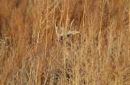 whitetail-buck-in-grass-camo-wayne-d-lewis-dsc_0199