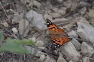 Butterfly-Wayne-D-Lewis-DSC_0219