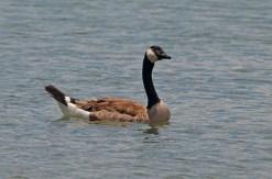 Canada-Goose-Pedro-Laumbach-DSC_0105