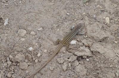 Checkered-whiptail-lizard-Wayne-D-Lewis-DSC_0311